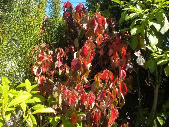 Acalypha wilkesiana 'Jungle Dragon' (Acalypha wilkesiana 'Jungle Dragon')