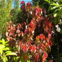 Acalypha wilkesiana 'Jungle Dragon' (Acalypha wilkesiana 'Jungle Dragon')