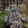 Leucothoe fontanesiana Whitewater (Leucothoe fontanesiana (Leucothoe))