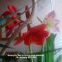 Amaryllis Red in living room window 07-01-2013 001 (Amaryllis Hippeastrum)