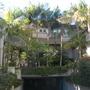 Grove of Kentia Palms (Howea fosteriana) in back of apartment building (Kentia Palm (Howea fosteriana))