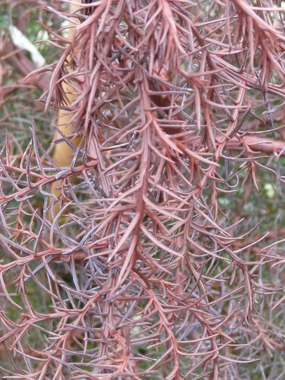 Cryptomeria close-up (Cryptomeria japonica (Japanese cedar))