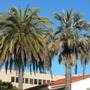 Canary Date Palm (Phoenix canariensis) and  Mexican Blue Palm (Brahea armata) (Phoenix canariensis (Canary Island date palm), Brahea armata)