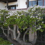 Jade Plant (Crassula obovata) (Jade Plant (Crassula obovata))