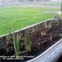 Daffs sprouting in white trough on balcony 09-01-2013 002 (Daffodil)