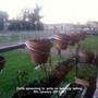 Daffs sprouting in pots on balcony railing 09-01-2013 001 (Daffodil)