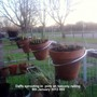 Daffs sprouting in pots on balcony railing 09-01-2013 002 (Daffodil)