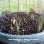 Daffs sprouting in big green pot on balcony 09-01-2013 (Daffodil)