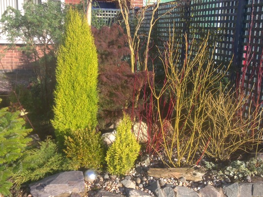 Cornus and Conifers