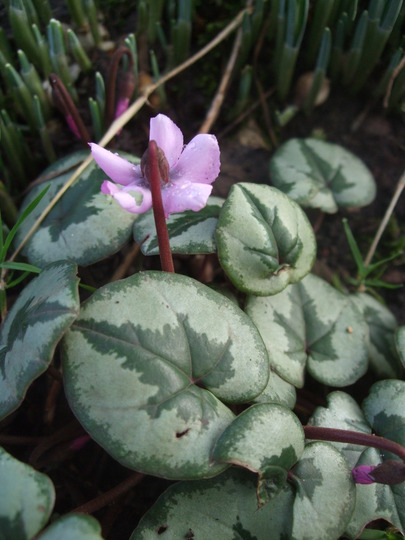 Pink Cyclamen coum (Cyclamen coum (Cyclamen))