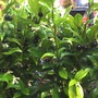 Sarcococca confusa sweet box ☂ partial shade /Full shade ❅hardy ★ Award ✿Evergreen  (Sarcococca confusa sweet box)