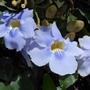 Blue_trumpet_flower