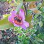 Camellia Hugh Evans