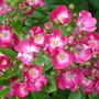 Close-ups of old roses: Marjorie Fair