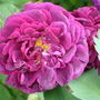 Close-ups of old roses: Tuscany Superb