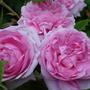 Close-ups of old roses: Comte de Chambord