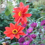 Close-up of Dahlia 'Bishop of Llandaff' and Aster 'September Ruby'