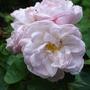 Close-ups of old roses: Alfred de Dalmas