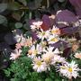 Chrysanthemum 'Venus' growing through Cotinus x 'Grace'