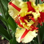 Close-up of Tulipa 'Flaming Parrot'