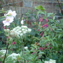 Sellinum wallichianum, Fuchsia magellanica 'Riccartonii' and Anemone x hybrida
