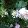 Rosa 'Alfred de Dalmas' with Fuchsia magellanica 'Alba' and Aster pyrenaeus 'Lutetia'