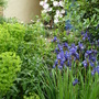 Iris sibirica 'Perry's Blue' next to Euphorbia characias wulfenii 'Lambrook Gold' with Clematis in the background
