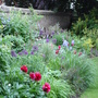 Paeonia officinalis 'Rubra Plena' in the long border of my old house