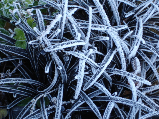 Frost on Ophiopogon planiscapus 'Nigrescens'--cheating really :)