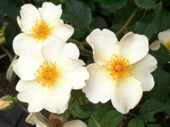Close-up of Rosa 'Kew Gardens'