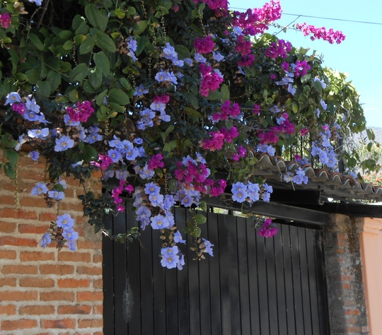The blue trumpet flower mixed with buganvilia over the gate