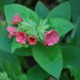 Pulmonaria in flower!! (Pulmonaria rubra (Lungwort) Redstart)