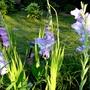 Group of blue gladioli. (Gladiolus grandiflorus)