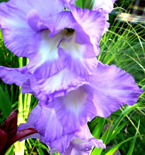 Blue/white gladiolus (Gladiolus grandiflorus)