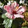 Beauty_hibiscus