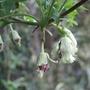 Clematis_napaulensis