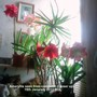 Amaryllis_seen_from_computer_closer_up_15_01_2013_002
