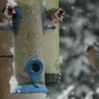 Finches squabbling.