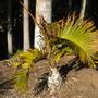 Hyophorbe lagenicaulis - Bottle Palm Cold Damaged (Hyophorbe lagenicaulis - Bottle Palm)