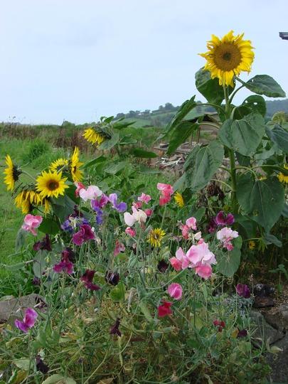 Sunflowers and Sweet Peas