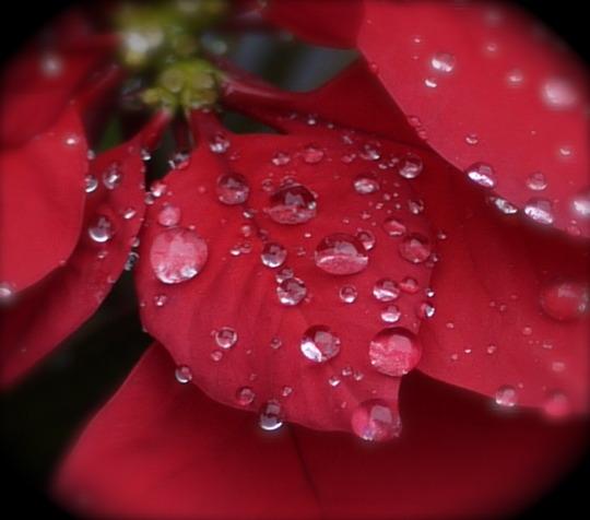 Poinsettia & Raindrops