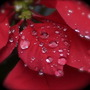 Poinsettia & Raindrops