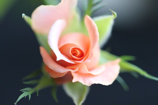 Peach Miniature Rose.
