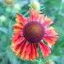 Helenium_moerheim_beauty_