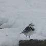 Wagtail visitor today