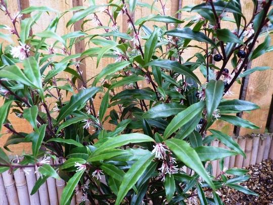 Sarcococca 'Digyna' (Sarcococca hookeriana (Sweet box))