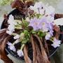 Primula_vulgaris_sibthorpii_p1060621