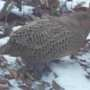 Four female pheasants came to feed. I could only get a picture of this one!