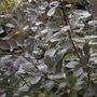 Cotinus coggygria (smoke tree)