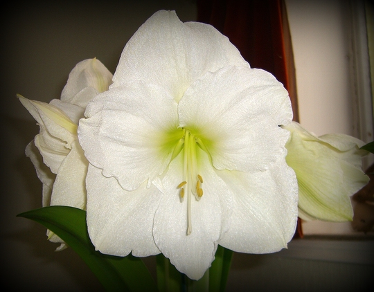 Close up of White Amaryllis